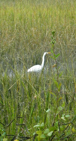 An egret in the marsh.