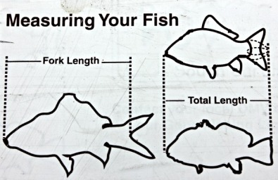 How to legally measure a fish.
